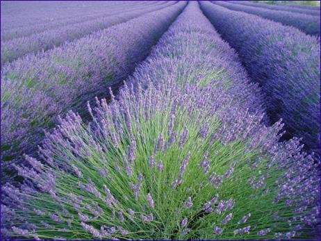 Beautiful Field of Lavender in Oregon