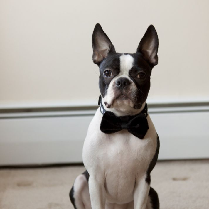 adorable wedding attire accessories for the little ones in the wedding dogs bow tie black